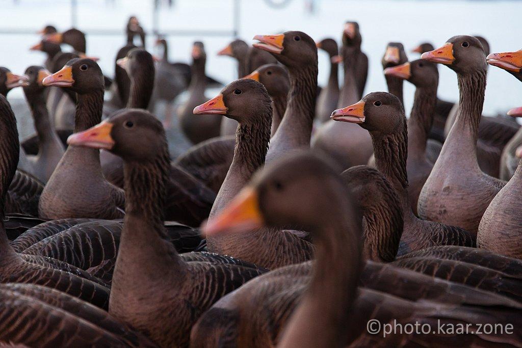 Gray Goose Invasion