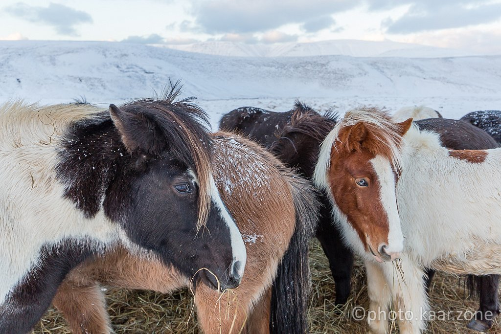 Iceland Cuties